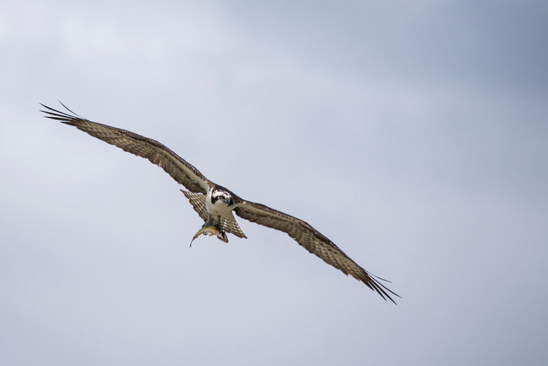 Osprey (Pandion haliaetus) in Flight with Fish