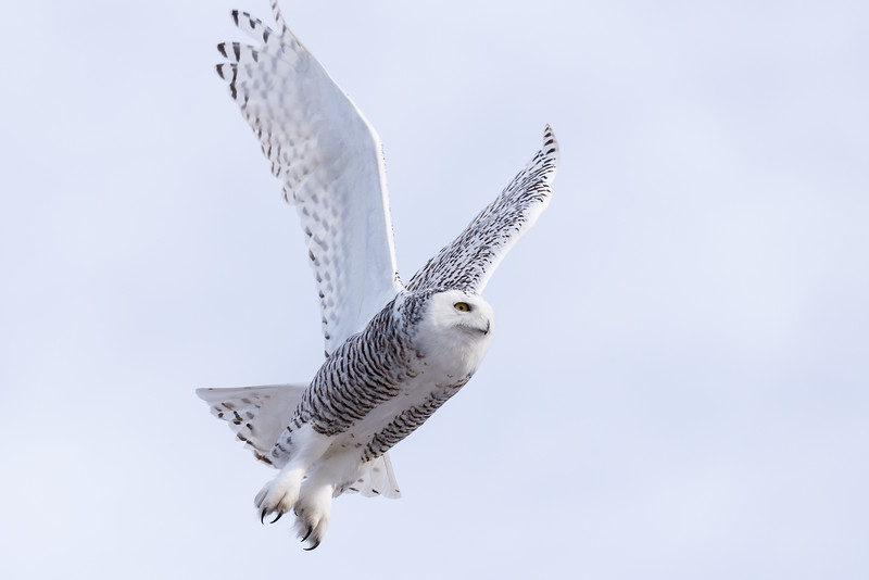 Female Snowy Owl (Nyctea scandiaca)