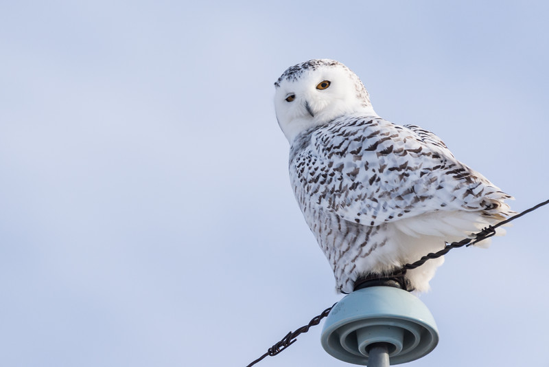 Female Snowy Owl (Nyctea scandiaca) on a Telephone Pole