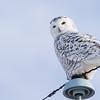 Female Snowy Owl (Nyctea scandiaca) on a Telephone Pole