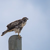 Juvenile Red-tailled Hawk (Buteo jamaicensis)