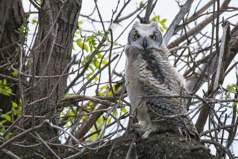 Great Horned Owl (Bubo virginianus) flegling