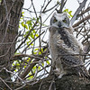 Great Horned Owl (Bubo virginianus) flegling
