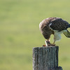 Swainsons Hawk (Buteo swainsoni) Dining on a rodent.