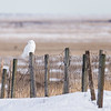 Male Snowy Owl (Nyctea scandiaca) hunting from a fence