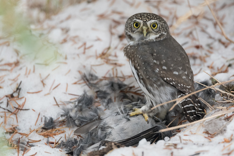 Northern Pygmy Owl (Glaucidium gnome) with a freshly caught Townsend Solitaire