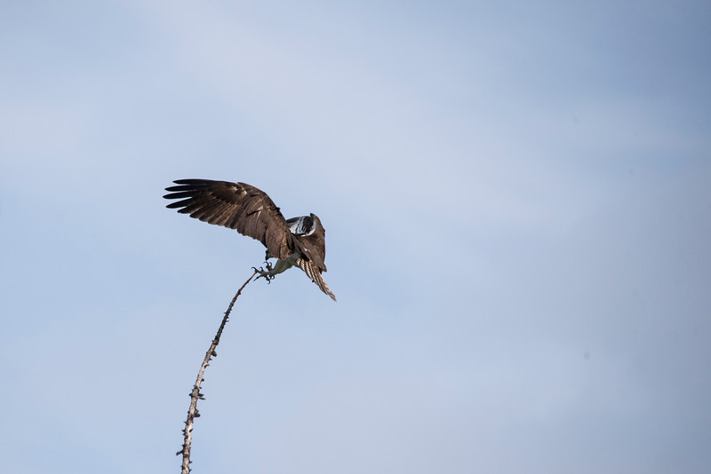Osprey (Pandion haliaetus) In Flight
