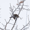 Northern Pygmy Owl (Glaucidium gnoma)