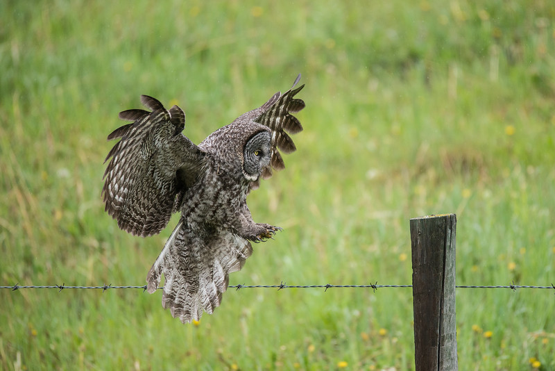 Great Grey Owl (Strix nebulosa) coming in for a landing on a  post.