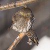 Northern Pygmy Owl (Glaucidium gnome) with a freshly caught Pine Siskin