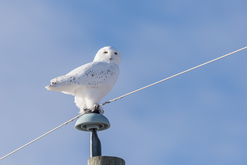 Male Snowy Owl (Nyctea scandiaca) hunting from a Telephone Pole