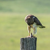 Swainsons Hawk (Buteo swainsoni) dining on a rodent