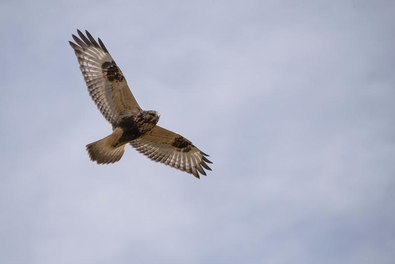 Prairie Falcon (Falco mexicanus)