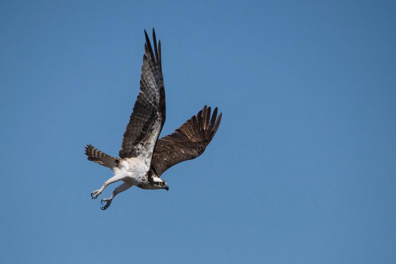 Osprey (Pandion haliaetus) In Flight