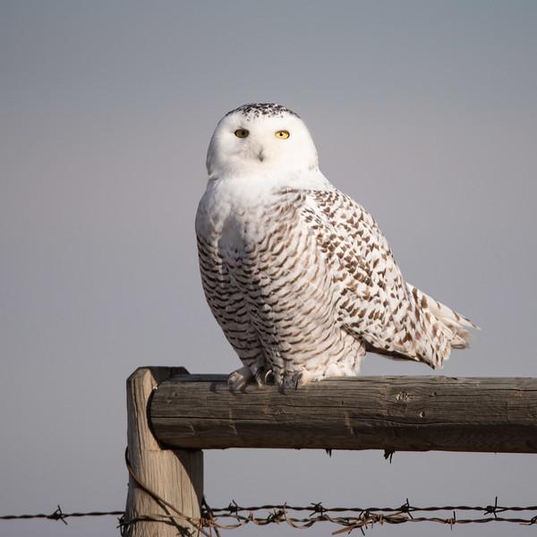 Female Snowy Owl or Juvenile (Nyctea scandiaca)