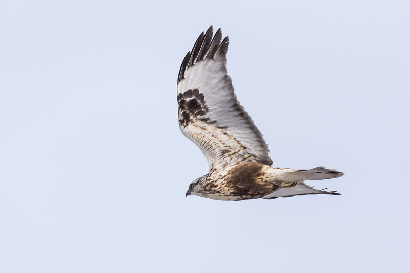 Rough-legged Hawk  (Buteo logos) in flight.