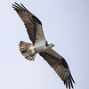Ospreys (Pandion haliaetus) In Flight