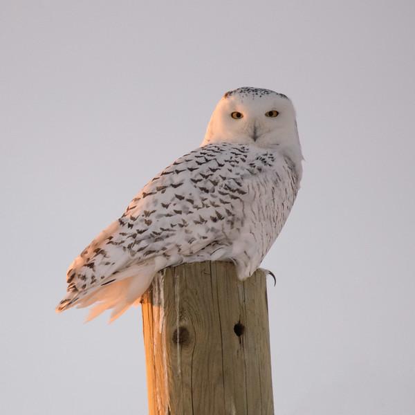 Female Snowy Owl (Nyctea scandiaca)