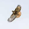 Red-tailled Hawk (Buteo jamaicensis)