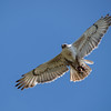 Ferruginous Hawk (Buteo regalis) with a gopher in its talons