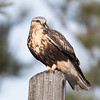 Rough-legged Hawk  (Buteo logopus)