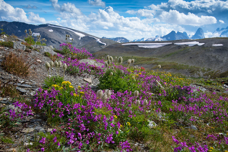 Wildflowers in Rocky Point Basin, Bugaboos