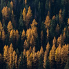 Larch Trees is full Autumn Color