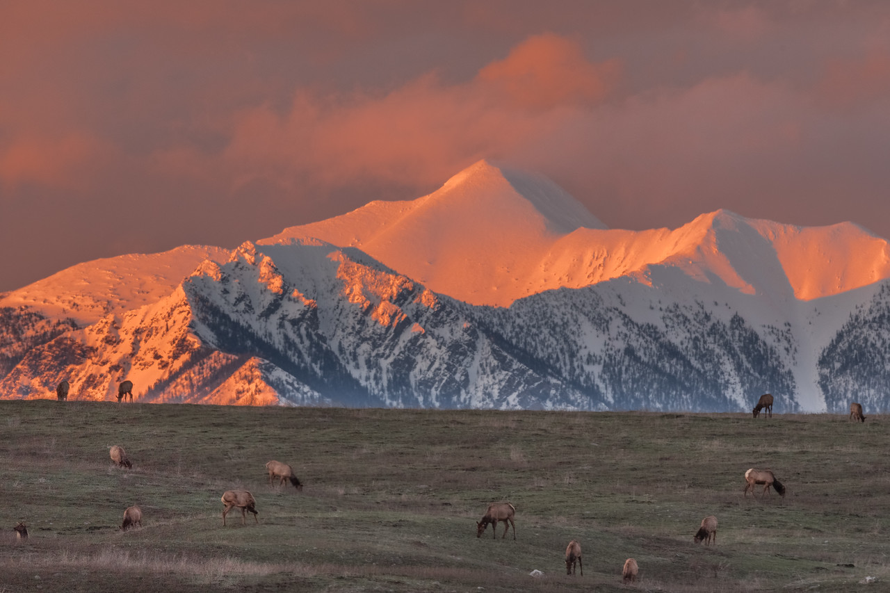 Elk Grazing in the Sunset