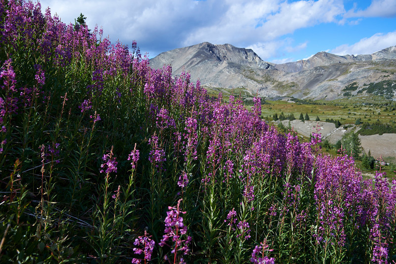 Fireweed in Rocky Point Basin, Bugaboo Area