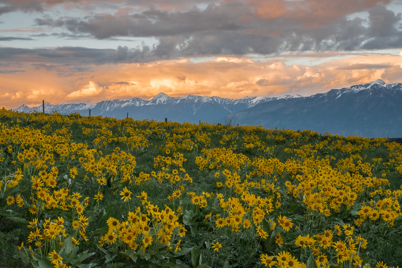 Balsamroot  and the Rockies from the Wycliffe Butte