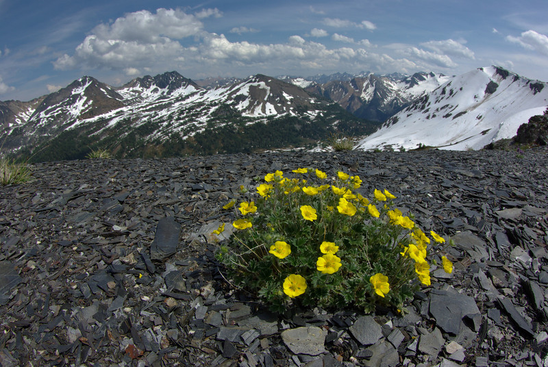 Cinquefoil on Chalice Ridge
