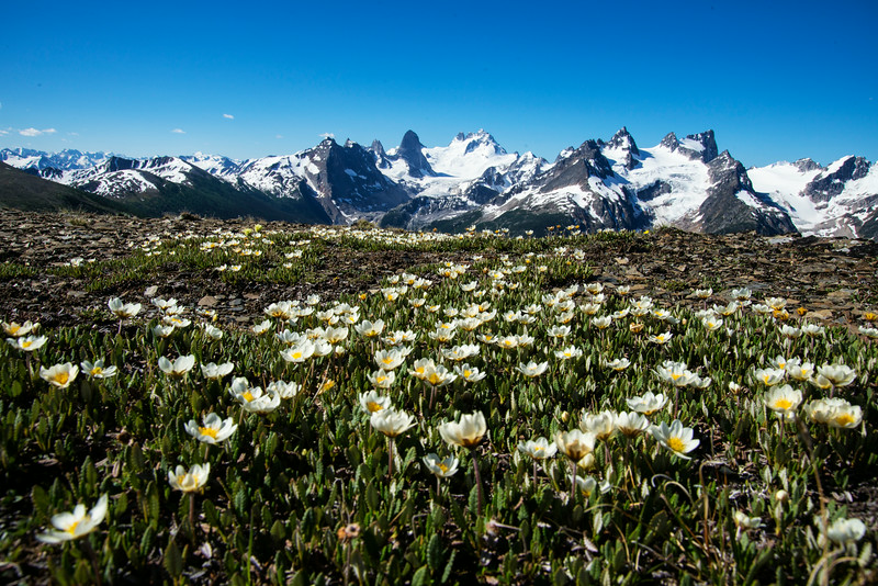 Mountain Avens in full bloom on Rocky Point Ridge