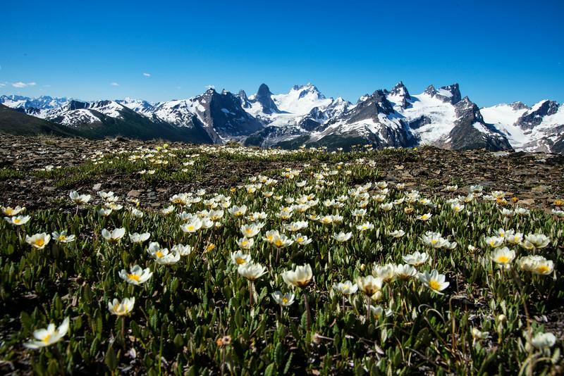 Mountain Avens in full bloom on Rocky Point Ridge