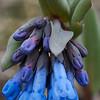 Oblong Leaf Bluebells (Mertensia oblongifolia)
