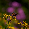 Arrow Leafed Ragwort (Senecio triangularus)