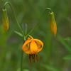 Columbia Lily, Tiger Lily (Lilium columbianum)