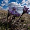 Prairie Crocus (Anemone patens)