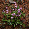 Calypso Orchid (Calypso bulosa)