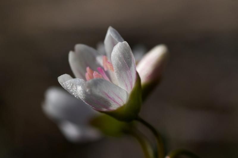 Spring Beauty (Clatonia lanceolata)