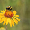 Bee and Brown-Eyed Susan (Gaillardia artistata)