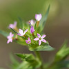 Tiny Trumpet (collomia linearis)