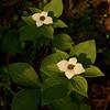 Bunch Berry (Cornus canadensis)