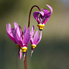 Shooting Star (Dodecatheon pulchellum)