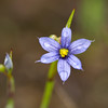 Blue Eyed Grass (Sisyrinchium idahoense)