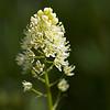 Meadow Deathcamas (Zigadenus venenosus)