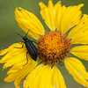 Beetle and Brown Eyed Susan (Gaillardia artista)