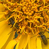 Arrow Leaved Balsam Root (Balsamorhiza sagittata)