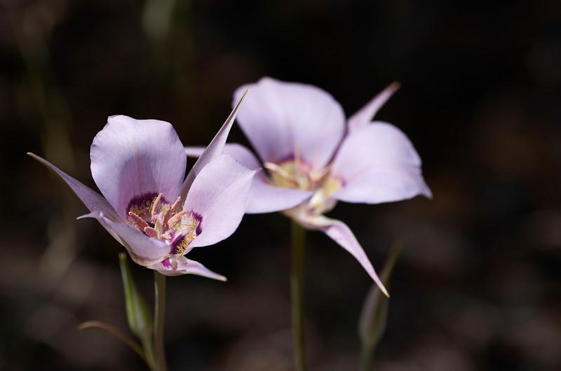 Sagebrush Mariposa Lily (Calochortus macrocarpus)