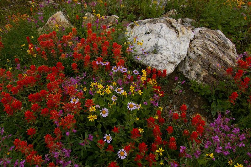 Alpine Paintbrush (Castelleja rhexifolia)
