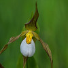 Mountain Lady Slipper (Cyprpedium montanum)